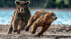 Убегать от медведя