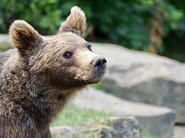 Медведь молодым