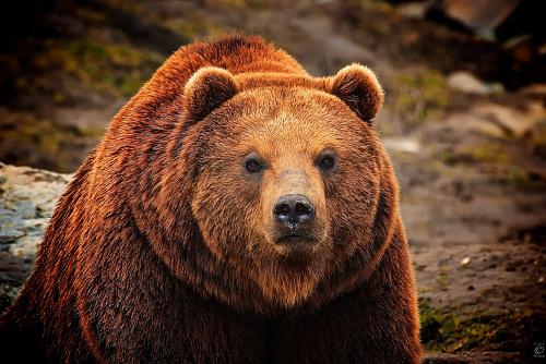 Что значит Медведь во сне